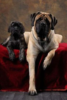 "The breed is commonly referred to as the ""Mastiff"". Also known as the English Mastiff this giant dog breed gets known for its splendid, good natu Mastiff Breeds, Mastiff Puppies, Dogs And Puppies, Doggies, Giant Dog Breeds, Giant Dogs, Cane Corso, Alabai Dog, Wallpaper English"