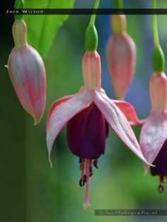 Jack Wilson - single upright -- FuchsiaFinder is a searchable fuchsia flower database. The database has more than 15.000 cultivars .