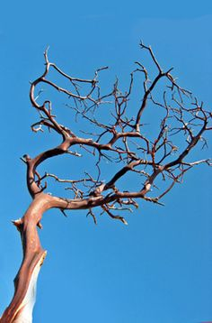 5.00 SALE PRICE! Enjoy the breathtaking beauty of the Sierra Madre Mountains with these Manzanita Branches. Their rich shade of maroon compliments an earth-t...