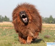 Red Tibetan Mastiff The most EXPENSIVE dog in the world rating at $1.5 Million.