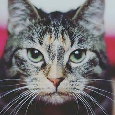 #Cats #Cat #Kittens #Kitten #Kitty #Pets #Pet #Meow #Moe #CuteCats #CuteCat #CuteKittens #CuteKitten #MeowMoe Kitty shot ... https://www.meowmoe.com/48489/