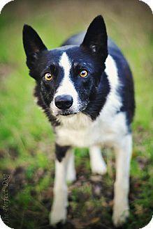 Milpitas, CA - Border Collie/Shepherd (Unknown Type) Mix. Meet Cricket, a dog for adoption. http://www.adoptapet.com/pet/12174633-milpitas-california-border-collie-mix