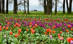 Gotta think about Spring while in the Polar vortex.   Just look at Tulip Framing by Nick Boren and you will be transported!