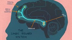 What's Going on Inside the Brain Of A Curious Child?  | The Limbic Reward System lights up when curiosity is piqued.