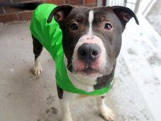 TO BE DESTROYED 1/4/14 Manhattan Center -P  My name is PARSON A/K/A POPPY. My Animal ID # is A0987508. I am a male black and white pit bull mix. The shelter thinks I am about 3 YEARS old.  I came in the shelter as a STRAY on 12/16/2013 from NY 10462, owner surrender reason stated was STRAY. https://www.facebook.com/photo.php?fbid=727154597297422&set=a.611290788883804.1073741851.152876678058553&type=3&theater