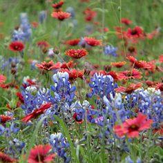 Texas Bluebonnets make a great companion plants for summer blooming perennials such as lantana, mealy cup sage, autumn sage, and Michalmas daisy.