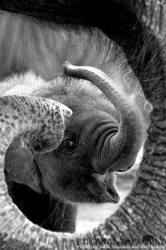 Smile of elephant in Thailand. Copyright: Chirasak Tolertmongkol. °