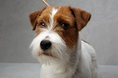 Bosse the Jack Russell Terrier- NY Times photo