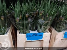 Frittularia++uva+vulpis (600×450)