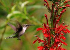 28 Common Flowers That Attract Hummingbirds (Native, Easy To Grow) - Bird Watching HQ Hummingbird Habitat, Hummingbird Flowers, Hummingbird Garden, Hummingbird Nectar, Hummingbird Pictures, Flowers That Attract Hummingbirds, Attracting Hummingbirds, Humming Bird Feeders, Humming Birds
