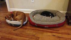 big dog tiny bed 2
