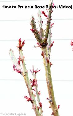Pruning a rose bush after winter is really important to have a new growth. In this post you will learn How to Prune a Rose Bush (Video). Rose Bush Care, Rose Care, Growing Flowers, Planting Flowers, Growing Plants, When To Prune Roses, Rose Plant Care, Rooting Roses, Pruning Roses