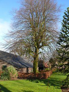 Cultureel Brabant CuBra Bomen Knegsel, de linde van de Johanna Hoeve