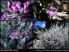 Eremophila nivea  Shrub to 1.2m, FS Flowers late winter to early summer Bird attracting