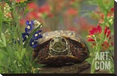 Western Box Turtle among Lupine and Indian Paintbrush, North America Stretched Canvas Print by Tim Fitzharris at Art.com
