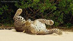 Znalezione obrazy dla zapytania gif jaguar