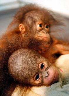 Five-month-old female orangutans (pongo pygmaeus) from Borneo lie in an animal hospital at Taman Safari Park, Cisarua, in Bogor. Wild populations of orang-utans are found only in the tropical forests on the islands of Borneo and Sumatra. Baby Orangutan, Chimpanzee, Cute Baby Animals, Animals And Pets, Clever Animals, Mountain Gorilla, Cute Monkey, Tier Fotos, Borneo
