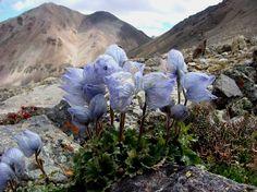 Delphinium foresttii