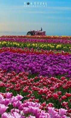 Tulip Fields, Wooden Shoe Tulip Farm, Oregon | Rob Etzel on 500px