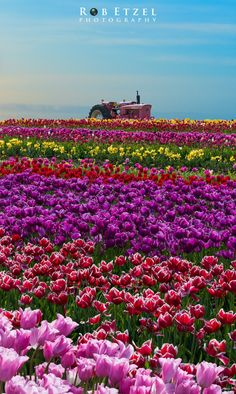 Tulip Fields, Wooden Shoe Tulip Farm, Oregon | Rob Etzel on 500px