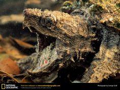 Alligator snapper turtle