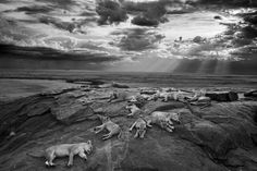 2014 Wildlife photographer of the Year overall and black and white category winner: The last great picture by Michael 'Nick' Nichols (USA) showing five female lions at rest with their cubs in Tanzania's Serengeti national park. Photograph: Michael Nichols/2014 WPY 2014 Wildlife photography awards round-up – in pictures