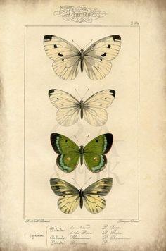 Butterfly Art Print, Butterfly Wall Art, Butterfly Print, Vintage Print, Book Plate Print, Custom Art Print, Green Butterfly, Antique Print