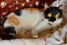 畑の小屋で暮らす三毛猫♀ /  Japanese Tortoiseshell cat ♀ living in cabin of the field