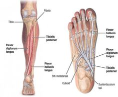 Tibialis Posterior: Learn Your Muscles - Custom Pilates and Yoga Thigh Muscles, Shoulder Muscles, Foot Anatomy, Human Anatomy, Deep Fascia, Muscular System Anatomy, Muscle Anatomy, Weight Training Workouts, Nursing Notes