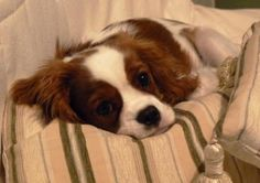 Cavalier King Charles Cocker Spaniel - Brown and White