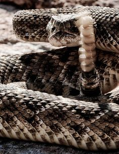 This is an article and photo project I did on the Sweetwater (TX) Rattlesnake Roundup Texas Rattlesnake, Rattlesnake Bites, Amazing Beasts, North American Animals, Animal Reiki, Snake Venom, Reptiles And Amphibians, Nature Animals, Viper