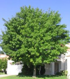 1000 Images About Shade Trees On Pinterest Ash Acacia
