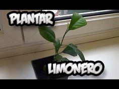 Cómo cultivar y cuidar limoneros en maceta   Plantas