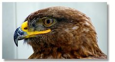 Riegersburg Bald Eagle, Birds, Animals, Pictures, Animales, Animaux, Bird, Animal, Animais