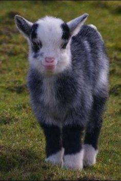 1000 images about Buy Me A Goat on Pinterest