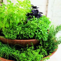 A Two Tiered Container Holding Herb Trailers & Fillers. Chives, Rosemary and Thyme grow in the bottom pot. Dwarf Purple and Sweet Basils grow in the top pot, (about 16 inches wide) with Thyme filling in around the edges. PLUS a link to 18 easy herb recipes!