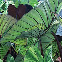 Bllue Hawaii Colocasia- Bright green leaves have pronounced blue-purple veins along dark burgundy stems. Grows 4 to 5 feet, shorter in containers.