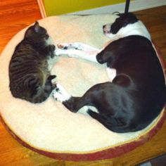 My Pit Bull, Mia, and her best buddy, Sage, the cat.  That's love!