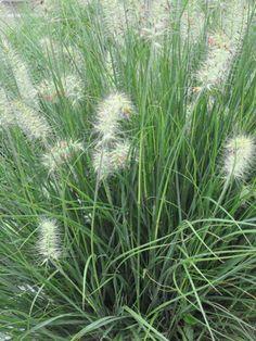 Pennisetum - Little Bunny Dwarf Fountain Grass