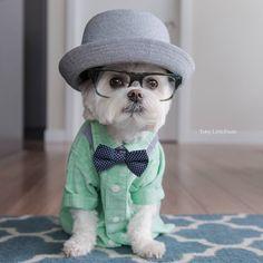 Little Maltese in big hat. Cute!