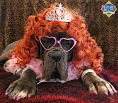 Rufio is feeling fabulous in one of his many #Halloween costumes. #dog #pet #mastiff #costume    [Thanks Kathryn D. for sharing this festive photo of her pup with us!]