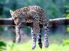"Little Leopard's Favorite ""HangOut"""