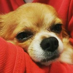 #collarbuddies #chihuahua #cutechihuahua #chihuahuas #chihuahuasofinstagram #chihuahualove #chihuahualover #chihuahualife #chihuahuaworld #chihuahuagram #chihuahuadog #chihuahuasofig #instachihuahua #chihuahualovers #chihuahuaofinstagram #ilovemychihuahua #chihuahuaoftheday #chihuahuastagram #onlychihuahua #chihuahuaaddict #chihuahuanation #ilovechihuahua #lovechihuahua #mychihuahua #chihuahuas_of_instagram #ilovechihuahuas #lovemychihuahua #chihuahuaclub #chihuahuainstagram #oscar…