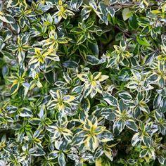 Southern Living Plant Collection 2 gal. Lemon Zest Abelia-01572 - The Home Depot