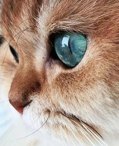 Photo - Google+ Beautiful blue eyes - #cats