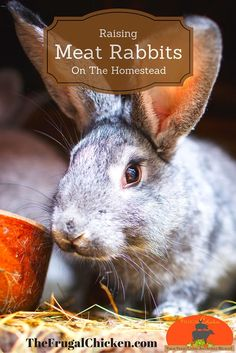 Raising rabbits on your homestead for meat is a great way to have a consistent supply of lean, healthy meat. Here's a look at our rabbits and what you need to know. meat Raising Rabbits On The Homestead For Beginners Raising Rabbits For Meat, Raising Backyard Chickens, Keeping Chickens, Backyard Farming, Homestead Farm, Homestead Living, Homestead Survival, Healthy Meats, Rabbit Hutches