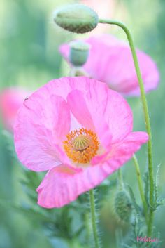 ~~The soft side of things   pink poppies   by meletver~~