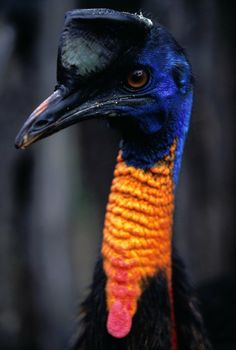 Cassowary > these are big, dangerous birds, hostile to humans- a rare, flightless bird smaller only than the Ostrich and Emu