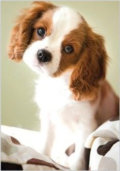 Paw Prints, King Charles Puppy card 3534, from www.abacuscards.c...