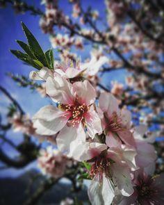 Qué senzilla que és la bellesa en ocasions... #alcalalíenflor  #MarinaAlta  #almond #flower  #almendro #flor #ametller  #marinaaltaisdiferent #mediterraneament #brutalmentvalencià  #natura #nature